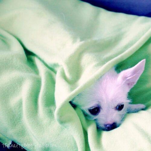 white chiahuahua snuggled inside her blanket dog bed
