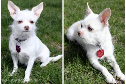 two pictures of a white chiahuahua